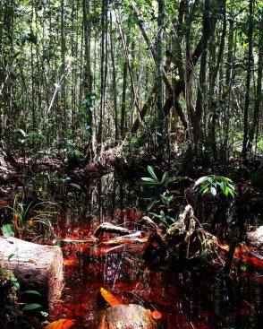 Peat swamp forest wet season