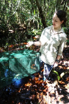 A surprise in our fish trap - a Wagler's pit viper that was later release unharmed. Photo by Jessica Thornton