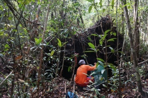 My research assistant Dudin setting a fish trap in the Sabangau Peat-swamp Forest. Photo by Sara Thornton.