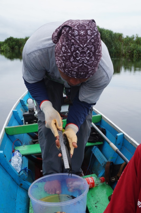 My research assistant, Dudin, measures the Standard Length (SL) of a fish before returning it to the Sabangau River unharmed. Photo by Sara Thornton.